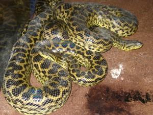 Anaconda amarilla.
