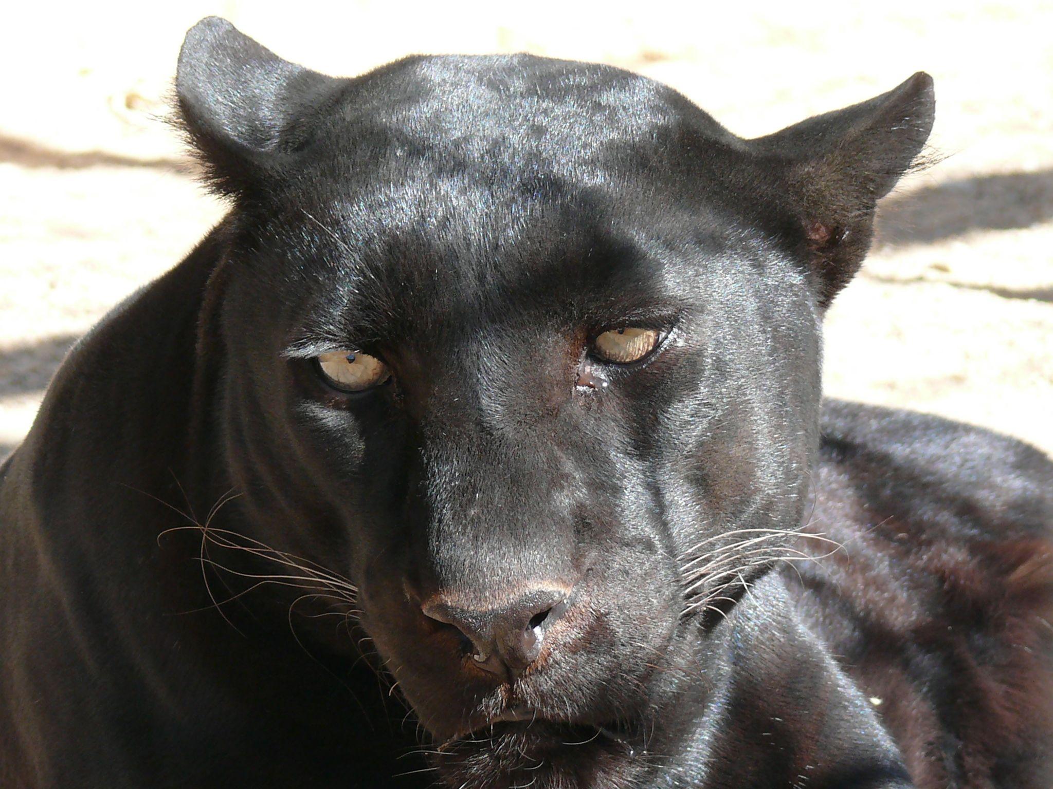 La Pantera Negra: Una Pantera De Verano