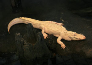 Aligátor albino.