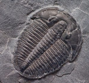 Trilobite Elrathia Kingii.